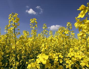 В Забайкалье будет налажено производство рапсового масла для Китая. Фото: Andreas Rentz/Getty Images