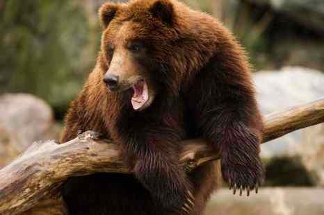 В Иркутской области медведь растерзал человека и был убит из автомата Калашникова. Фото: DON EMMERT/AFP/Getty Images