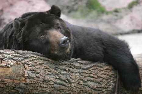 Медведи Камчатки просыпаются. Фото: DENIS SINYAKOV/AFP/Getty Images
