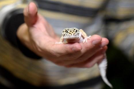 Выставка «Белые и пушистые» в Новосибирске. Пятнистый зублефар (леопардовый геккон). Фото: Сергей Кузьмин/Великая Эпоха (The Epoch Times)