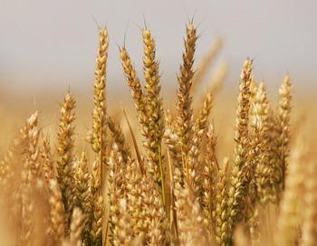 Благоприятные природные условия этого года по сравнению с прошлогодней засухой дали весьма приличный урожай зерновых в России. Фото: Scott Barbour/Getty Images)