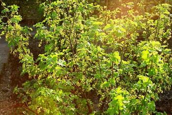 Фактически в роще осталось только несколько деревьев, немного кустов смородины да ранетки. Фото: Фото: Сима Петрова/Великая Эпоха (The Epoch Times)