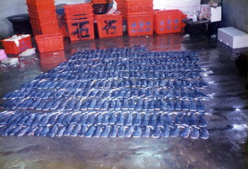 Единственная беременная самка китовой акулы, попавшая к исследователям, имела 304 эмбриона, которые находились на разных стадиях развития: от яйцеклетки до животного, в ближайшее время готового к свободному плаванию. Фото с сайта theepochtimes.com