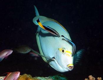 Очищение более крупной рыбы: парочка Labroides dimidiatus едят паразитов и водоросли на Achanthurus mata. Фото с сайта theepochtimes.com