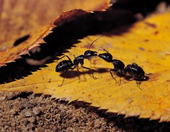 Гриб-паразит может контролировать поведение  инфицированных муравьев-древоточцев, что превращает их в