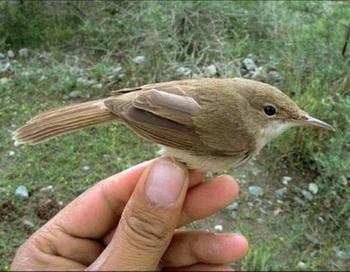 Тростниковая певчая птица  большеклювая камышовка:  эта птица, возможно, наименее изученная в мире, была вновь обнаружена в Афганистане. Фото с сайта theepochtimes.com