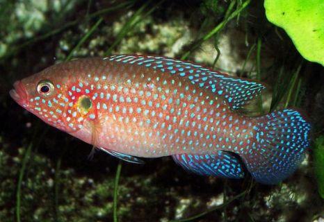 Разновидность окуней – рыбки цихлиды отправлены в космос для того, чтобы помочь учёным в исследовании морской болезни. Фото: de.wikipedia.org