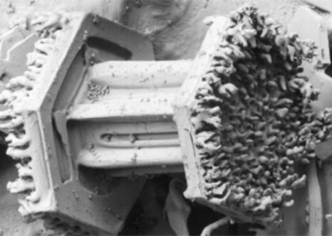 Фото: Courtesy P. Erbe, U.S. Department of Agriculture, Agricultural Research Service, Electron Microscopy Unit