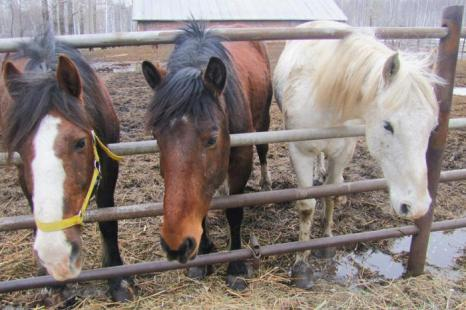Лошади, живущие на территории питомника заповедника. Фото: Мария ЗАГВАЗДИНА/Великая Эпоха (The Epoch Times)