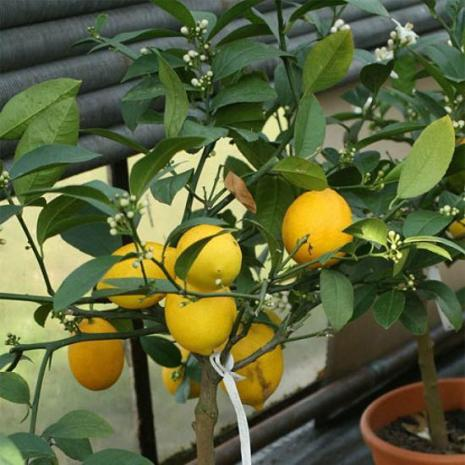 Лечебные свойства семи комнатных растений. Лимон. Фото с сайта fresher.ru