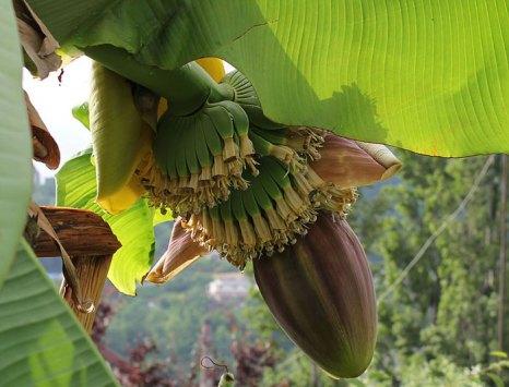 Цветок и завязь банана. Фото: Popugayka/commons.wikimedia.org