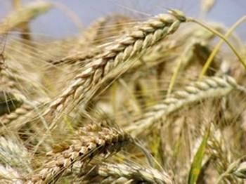 После запрета экспорта зерна из России поднялись цены на пшеницу в США. Фото: 20minut.ua