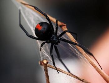 Нашествие ядовитых пауков угрожает Северной Америке. Фото: Ian Waldie/Getty Images