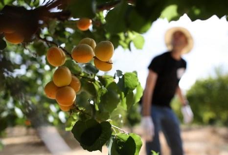 В Чехии выбран король абрикосов. Фото: Justin Sullivan/Getty Images