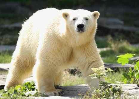 На Международном форуме по охране белого медведя в Москве 4-6 декабря соберутся главы природоохранных министерств пяти арктических стран. Фото: Sean Gallup/Getty Images