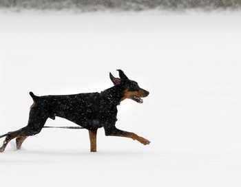 Доберман. Фото: Bill Pugliano/Getty Images