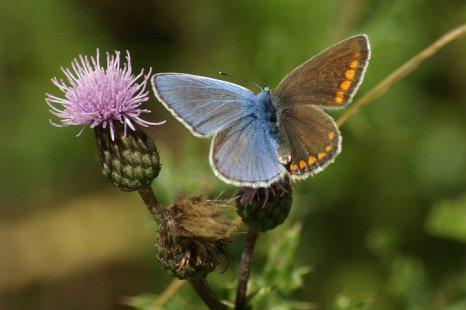Гинандроморф вида Polyommatus icarus (обычная голубая бабочка). Фото: Burkhard Hinnersmann/Wikimedia Commons