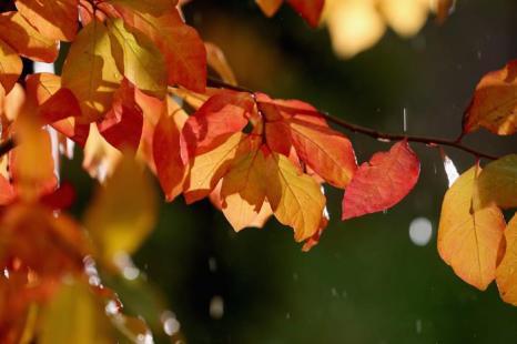 Традиционные оттенки осени, наконец, появились в Англии на бузине, дубах и конском каштане во второй половине октября 2013 года. Фото: Christopher Furlong/Getty Images
