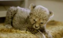Детёныш гепарда и щенок риджбека поиграли перед посетителями зоопарка Сан-Диего