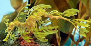 800px-Leafy_Seadragon_Phycodurus_eques_2500px_PLW_edit