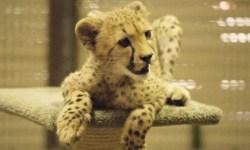 Гепард и собака стали настоящими друзьями в зоопарке Сан-Диего