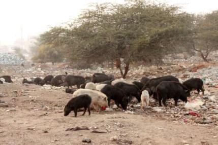 20150115-slum-pigs-filth-venus-upadhayaya-480x320