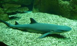 Чёрная рифовая акула в аквариуме