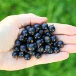 черная смородина, ягоды, правильное питание, натуральное