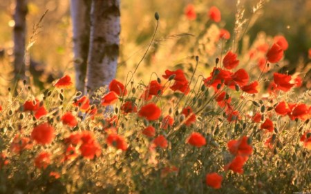 Маки в лесу. Фото: hq-wallpapers.ru