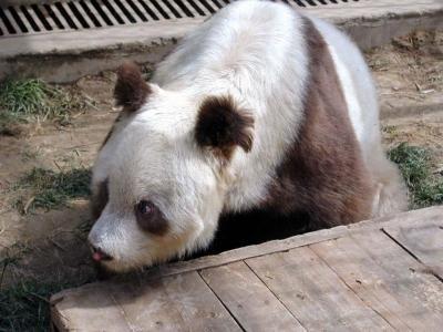 brown-white-panda-China-rare-1