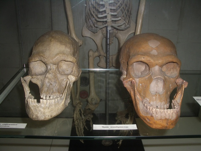 Черепа современного человека (слева) и неандертальца (справа). Фото: Карма2/wikipedia.org/GFDL 1.2