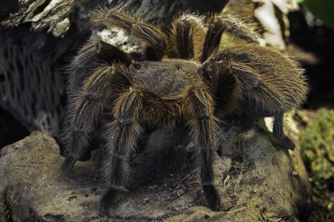 тарантулы