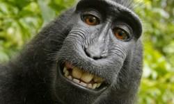 авторские права обезьяны, селфи
