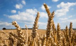 Россия, экспорт, пшеница, США