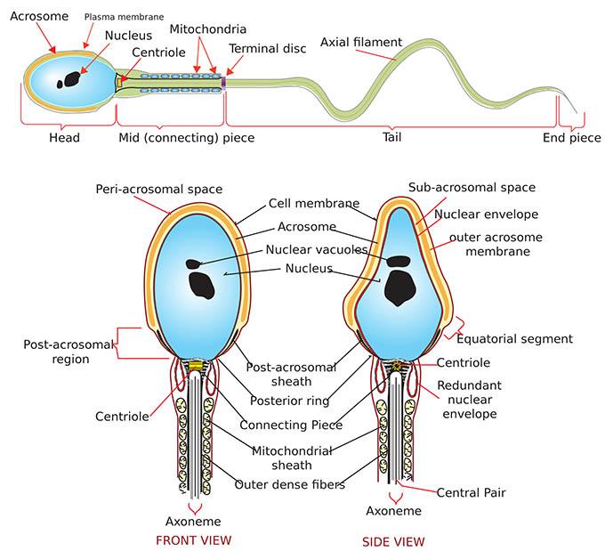 сперматозоид, клетка, сперма