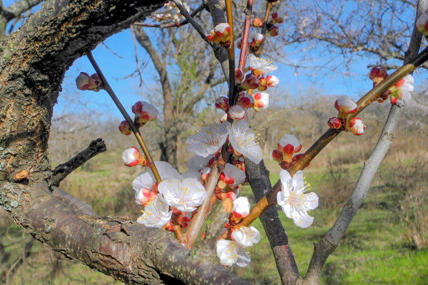 Цветы абрикоса. Фото: Алла Лавринеко/Великая Эпоха