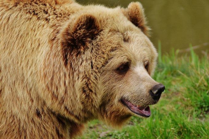 Символ России — медведь. Фото: pixabay.com/CC0 Public Domain