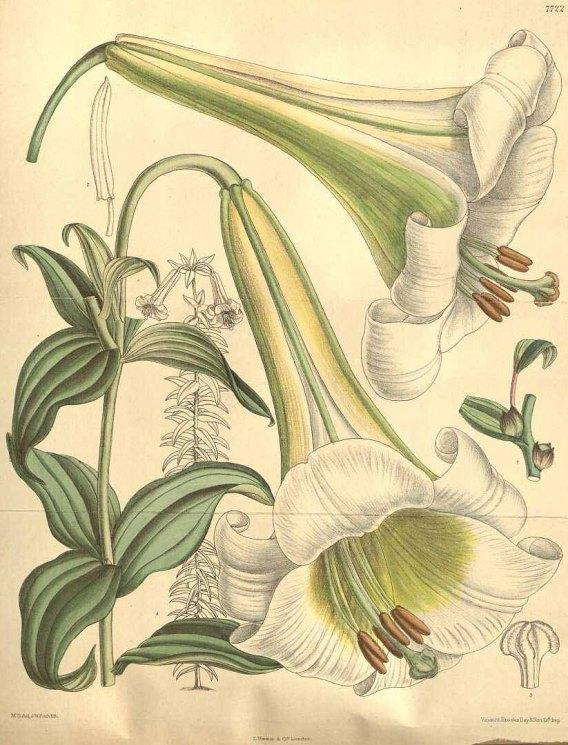 Изображение лилии из ботанического журнала Кёртиса, 1900. Фото: Public domain