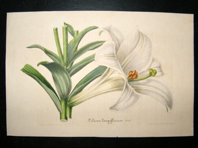 Изображение белой лилии, 1845–1888, Луи ван Отт & Шарль Лемер. Фото: www.albion-prints.com