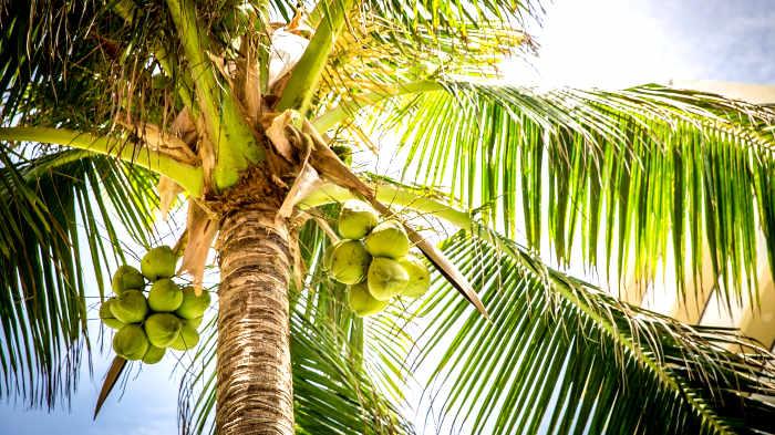 кокос, пальма