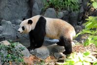 Панда, Гонконг, день рождения, рекорды Гиннеса, животные