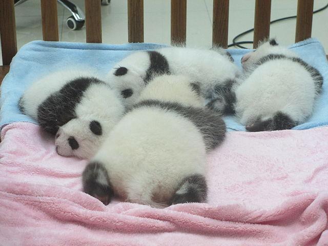 Детёныши панды