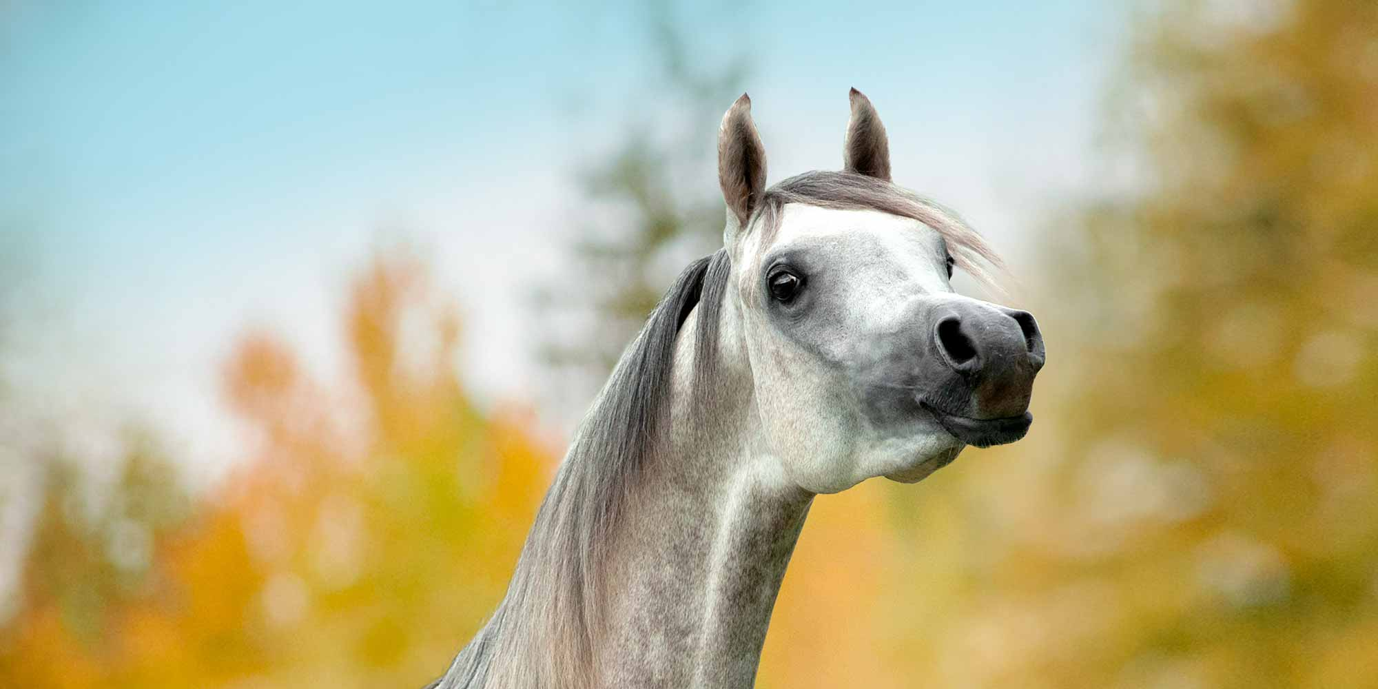 EQ Graphics | Grey Arabian Halter Horse Standing in Front of Yellow Fall Trees