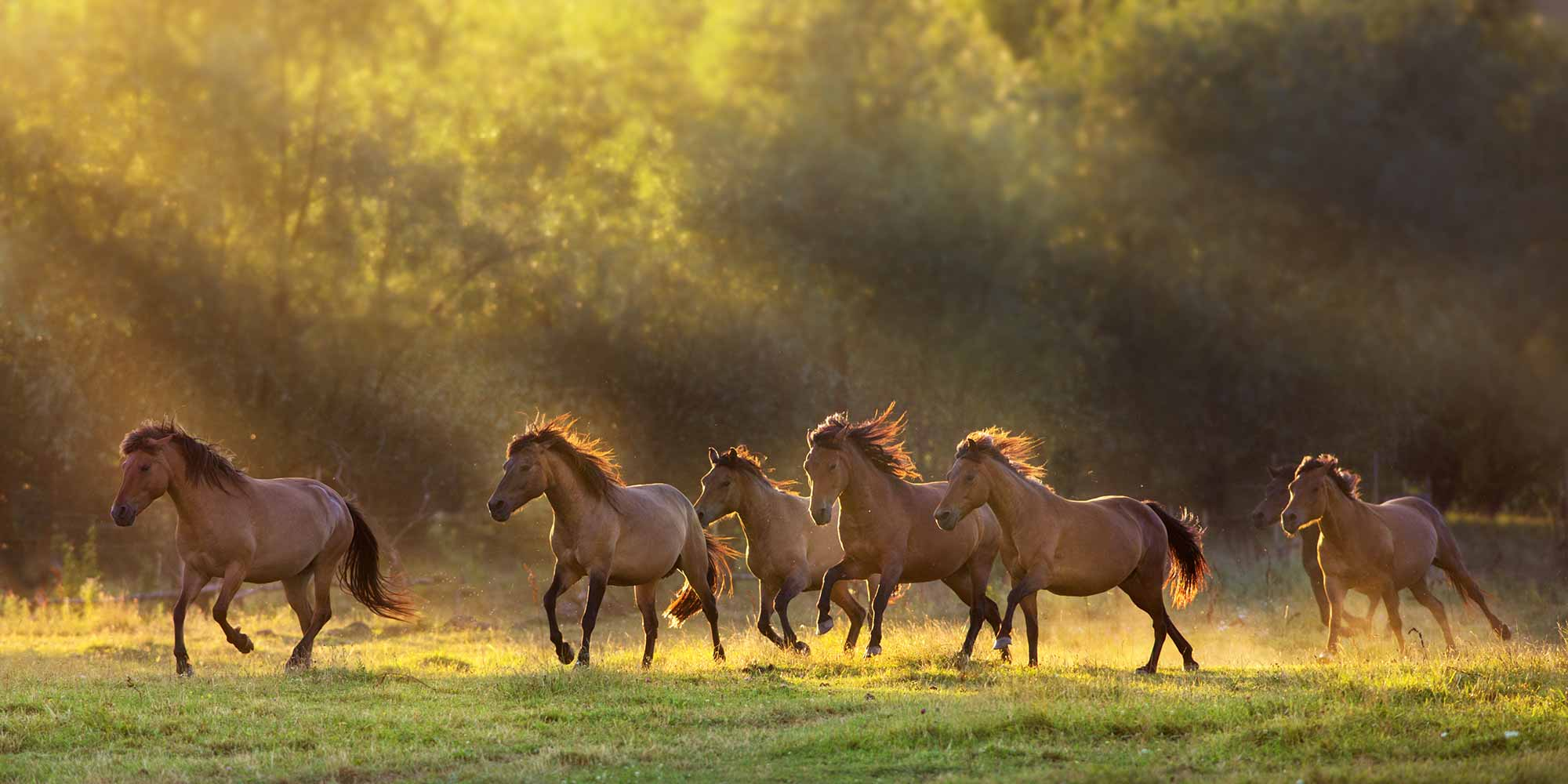 EQ Graphics | Golden Hour Horse Photography of Galloping Wild Horses