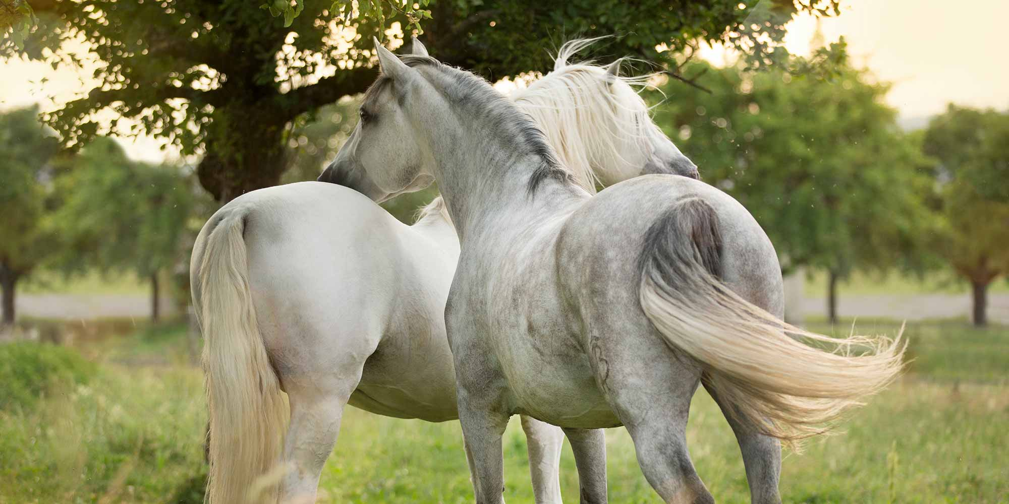 EQ Graphics   A Pair of White Stallion Horses Standing Together on a Retirement Farm Photography