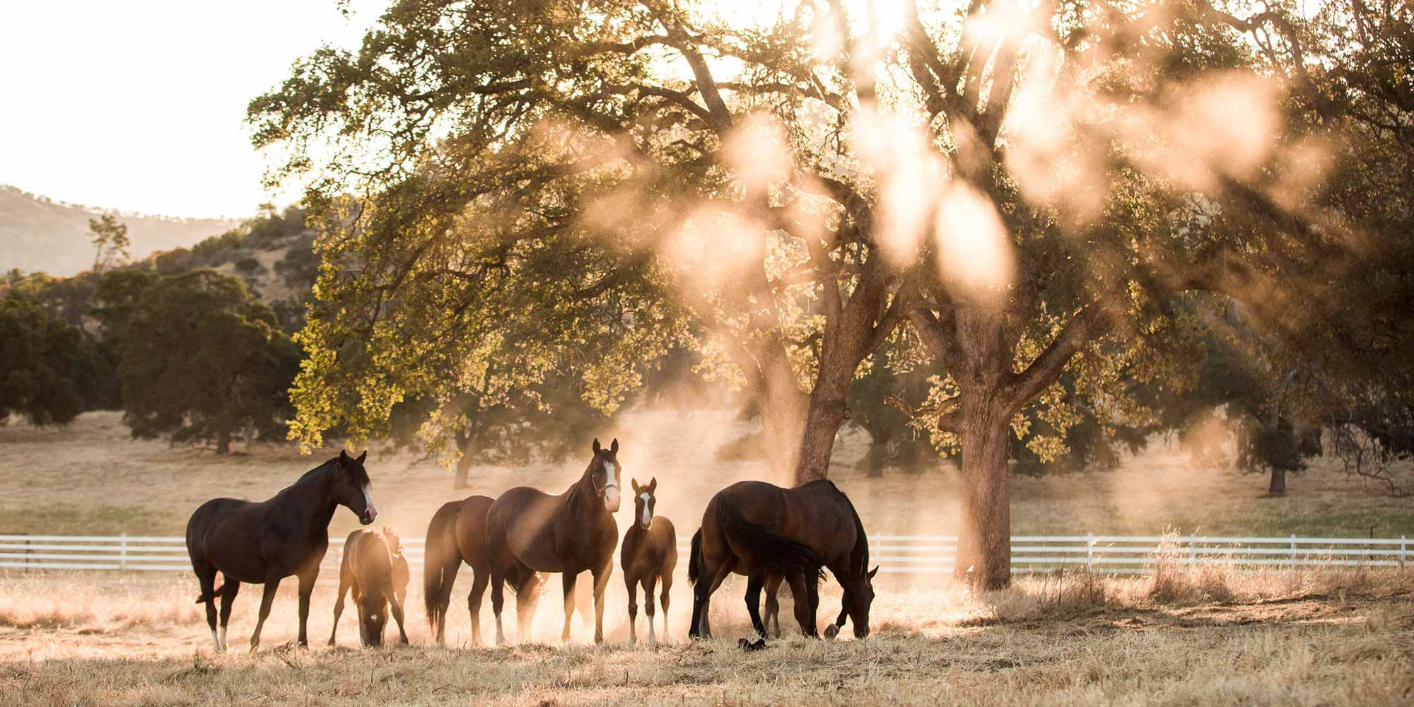 EQ Graphics   Golden Hour Photography of a Herd of Horses Standing Under A Tree on a Ranch
