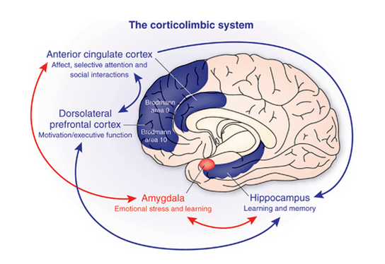 cortico-limbic system