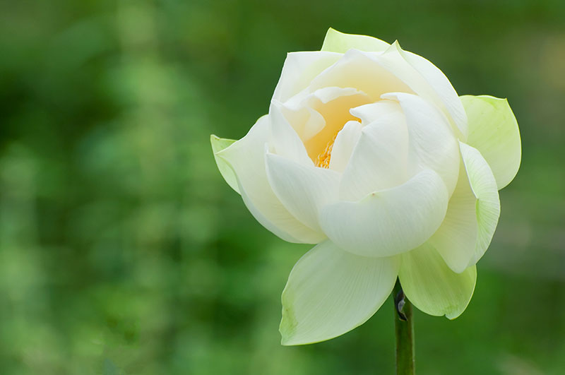 Beuatifulwhite lotus on a green background