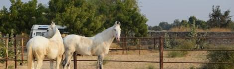 A special warrior: The Marwari horse