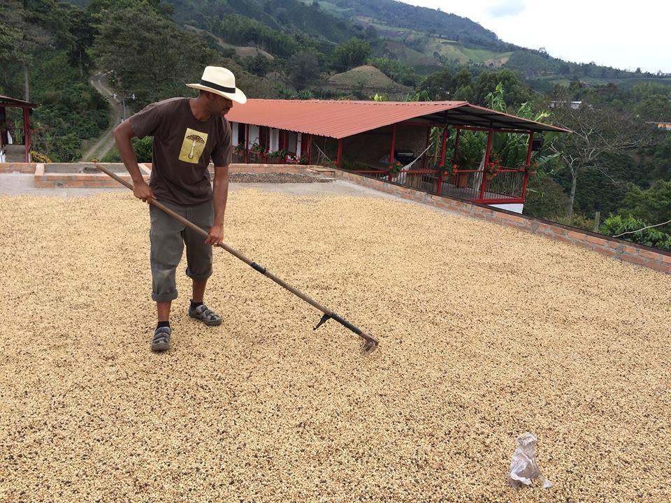 Okon raking coffee in Columbia